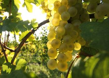 white-grapes